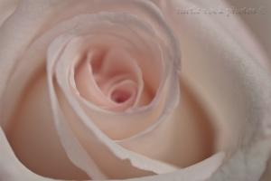 white and pink rose closeup