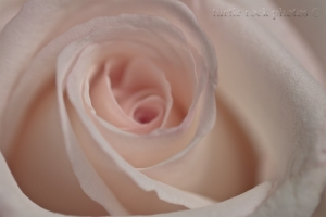 white and pink rose closeup