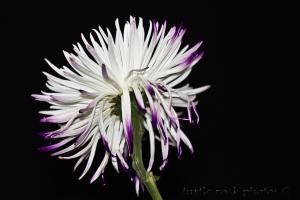 white and purple mum 2