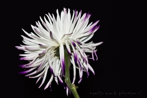 white and purple mum 2