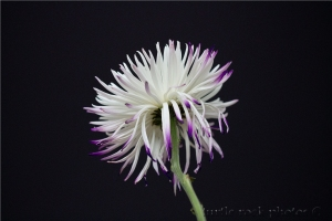 white and purple mum 3