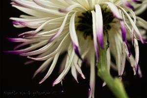 white and purple mum 4