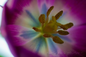 purple tulip 2