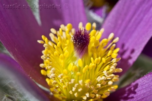 pasqueflower close
