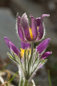 tall pasqueflower