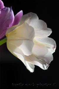 white and purple tulip 2