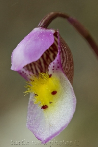calypso orchid 1