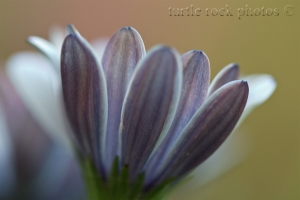purple and white petals